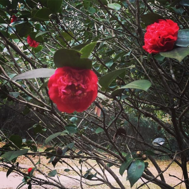 Loving these first blooms of the new year!! camellias flowershellip