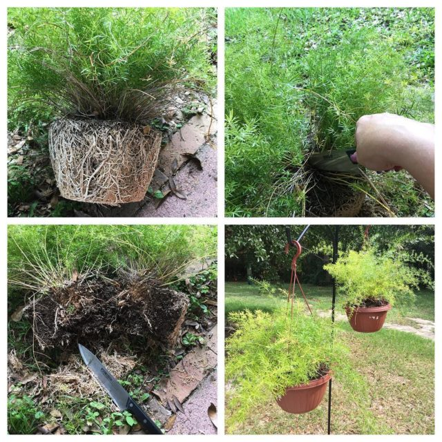 My asparagus fern got so root bound that it brokehellip